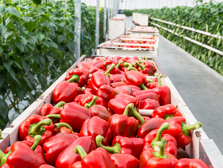 red_bell_pepper_vegetable_greenhouse_artemis